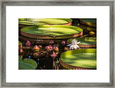Victoria Plant  Framed Print by Zina Stromberg