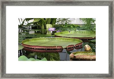 Victoria Splendor  Framed Print