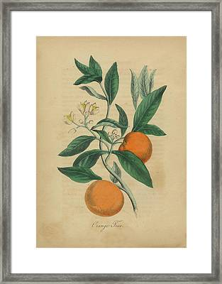 Victorian Botanical Illustration Of An Orange Tree Framed Print by Peacock graphics