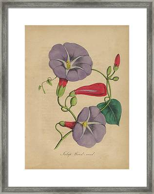 Victorian Botanical Illustration Of Bindweed Or Morning Glory Framed Print by Peacock Graphics