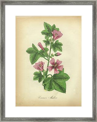Victorian Botanical Illustration Of Common Mallow Framed Print by Peacock Graphics