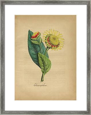 Victorian Botanical Illustration Of Elecamphane Or Horseheal Framed Print by Peacock Graphics