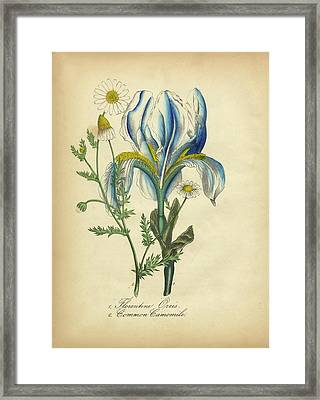Victorian Botanical Illustration Of Florentine Orchid And Common Camomile Framed Print by Peacock Graphics