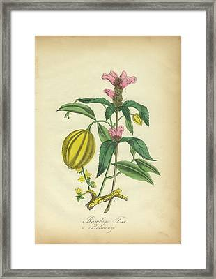 Victorian Botanical Illustration Of Gamboge Tree And Balmony Framed Print by Peacock Graphics