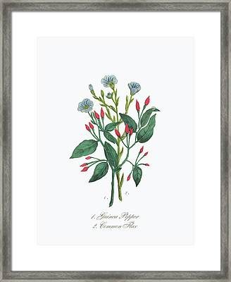 Victorian Botanical Illustration Of Guinea Pepper And Common Flax Framed Print by Craig McCausland