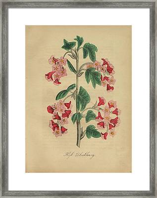Victorian Botanical Illustration Of High Blackberry Framed Print by Peacock Graphics