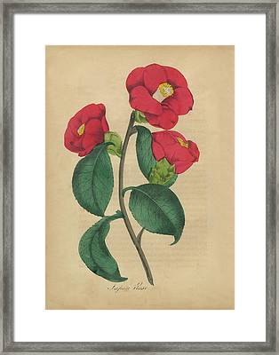 Victorian Botanical Illustration Of Japanese Rose Framed Print by Peacock Graphics