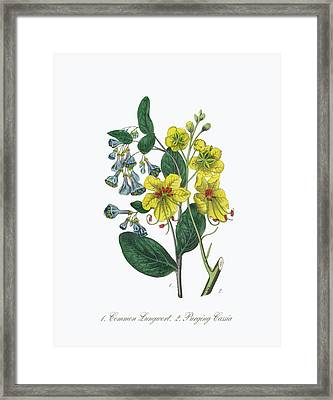 Victorian Botanical Illustration Of Lungwort And Cassia Framed Print by Craig McCausland