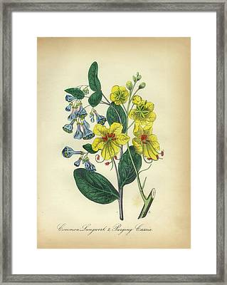 Victorian Botanical Illustration Of Lungwort And Cassia Framed Print by Peacock Graphics