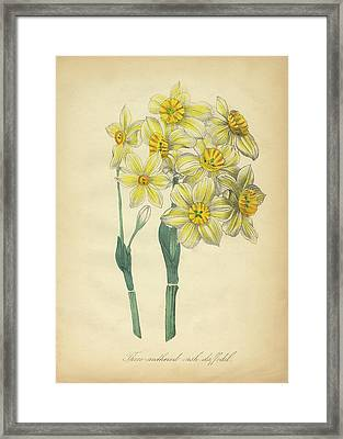Victorian Botanical Illustration Of Three-anthered Rush Daffodil Framed Print by Peacock Graphics