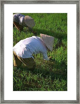 Vietnam Paddy Fields Framed Print