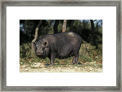 Vietnamese Pot-bellied Pig Framed Print by Gerard Lacz