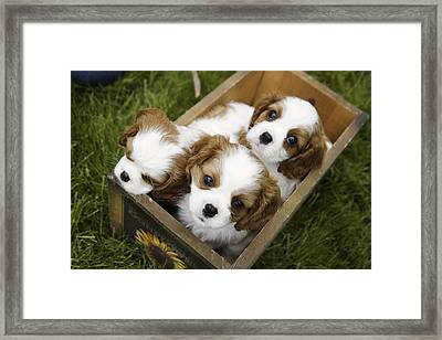 View From Above Of Three Puppies Framed Print