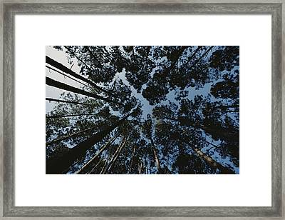 View Looking Up At The Tops Of Loblolly Framed Print