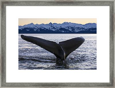View Of Humpback Whale Lifting Its Tail Framed Print by John Hyde