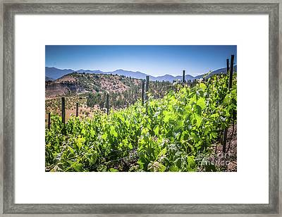 View Of The Vineyard. Winery In Chile, Casablanca Valley Framed Print