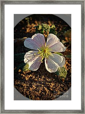 Framed Print featuring the photograph Vignette Evening Primrose by Robert Bales