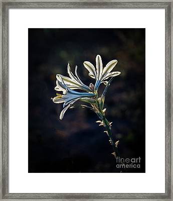 Vignetted Ajo Lily Framed Print by Robert Bales