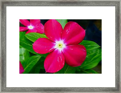 Vinca Flower Framed Print by Lanjee Chee