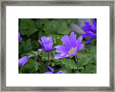 Vinca In The Morning Framed Print