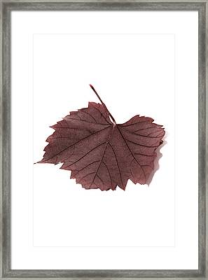 Vine Leaf Framed Print by Claire Hull