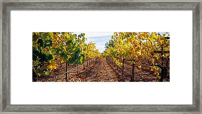 Vines In A Vineyard, Napa, Napa County Framed Print by Panoramic Images