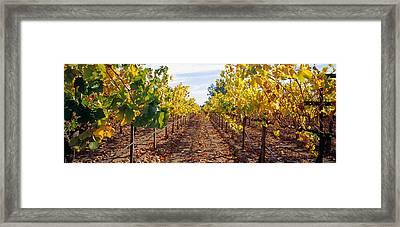 Vines In A Vineyard, Napa, Napa County Framed Print