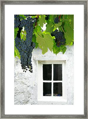 Vines In The Backyard Framed Print by Gaspar Avila