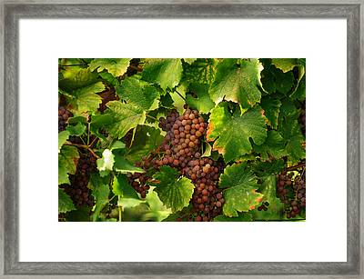Vines With Ripe Grapes Framed Print by Jenny Rainbow