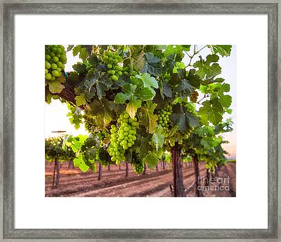 Vineyard 3 Framed Print