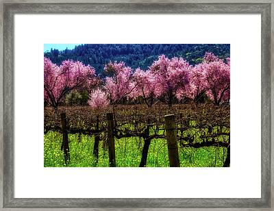 Vineyard Cherries Framed Print by Garry Gay