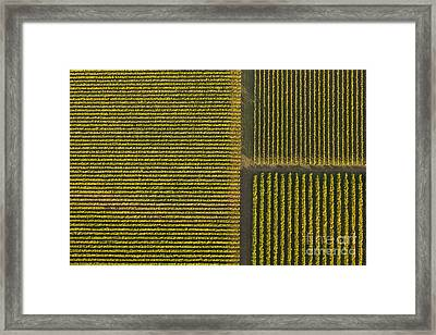 Vineyard From Above Framed Print by Diane Diederich