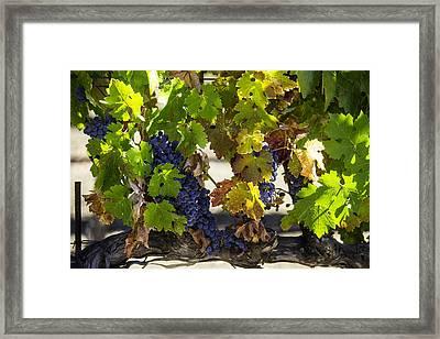 Vineyard Grapes Framed Print by Garry Gay