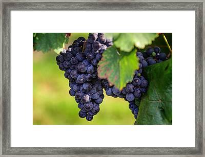 Vineyard Harvest Time Framed Print by Jenny Rainbow