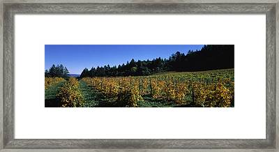 Vineyard In Fall, Sonoma County Framed Print by Panoramic Images