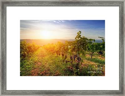 Vineyard In Tuscany, Ripe Grapes At Sunset Framed Print by Michal Bednarek