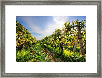 Vineyard In Tuscany, Ripe Grapes Framed Print