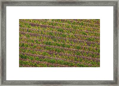 Vineyard Of Portugal Framed Print by David Letts