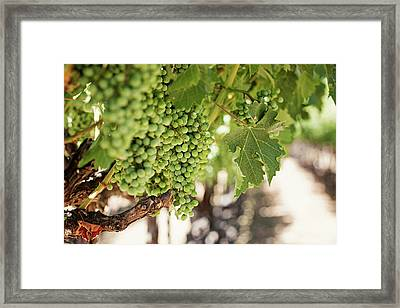 Wine Vineyard Of St. Helena - Grapevine Napa Valley Photography Framed Print