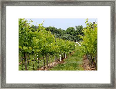 Vineyard Path Framed Print by Brian Manfra