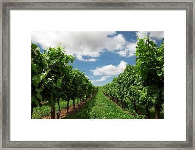 Vineyard Row Framed Print