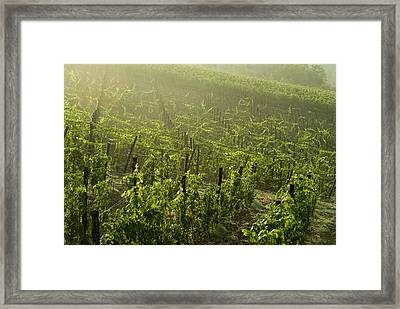Vineyards Shrouded In Fog Framed Print by Todd Gipstein