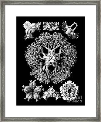 Vintage 1904 Ophiodeax Octopus And Starfish Biological Drawing Framed Print