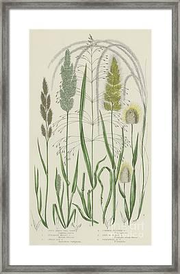 Vintage Botanical Print Of Grass Varieties Framed Print