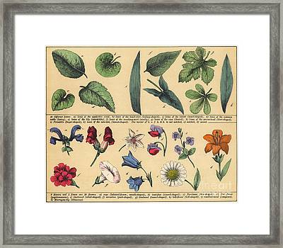 Vintage Botanical Print Showing Variety Of Leaves And Flowers Framed Print by English School