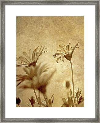 Vintage Daisies. Framed Print by Kelly Nelson