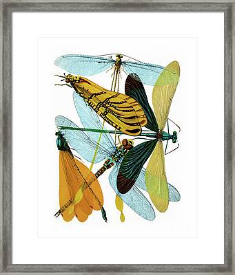 Vintage Dragonflies, Damselflies Etomology Illustration Framed Print by Tina Lavoie