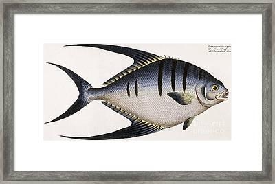 Vintage Fish Print Framed Print by German School