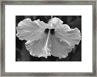 Vintage Hibiscus Framed Print by Melanie Moraga