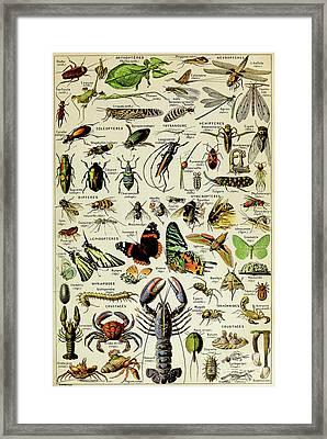 Vintage Illustration Of Various Invertebrates Framed Print